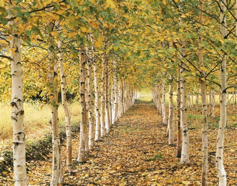 types of birch trees meet 12 species of birch trees betula genus