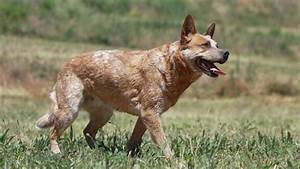 Red Heeler Dog Breed Information, Temperament and Health ...
