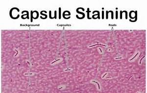 Capsule Staining- Principle, Reagents, Procedure and ...
