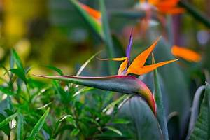 How To Grow Strelitzia Bird Of Paradise