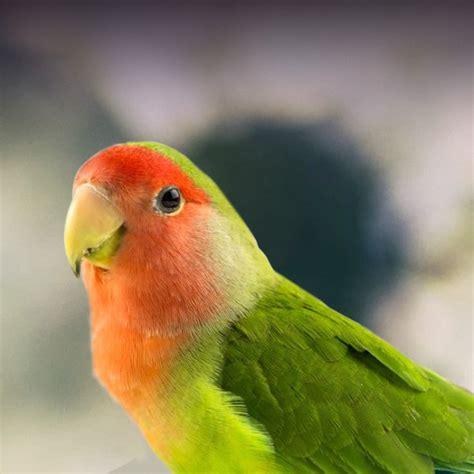 Fischer Love Birds as Pets