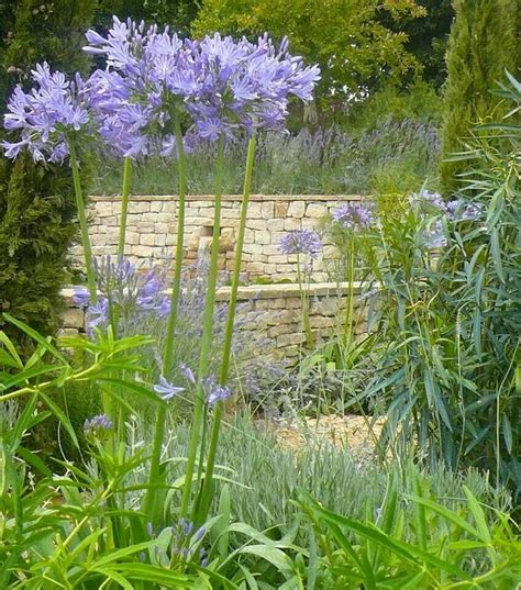 agapanthus garden 17 best images about agapanthus on pinterest perennials agapanthus africanus and herbaceous