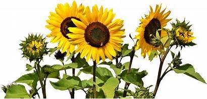 Transparent Sunflower Clip Common Clipart Transprent Oil