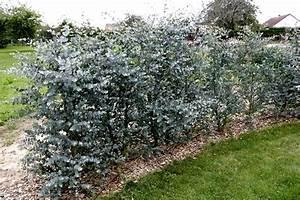 Eucalyptus Plante D Intérieur : le dictionnaire des plantes par eucalyptus fiche d 39 identit plantes pinterest ~ Melissatoandfro.com Idées de Décoration
