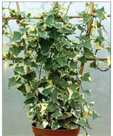 Variegated Wax Vine  Senecio Macroglossus 'variegatus
