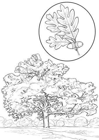 white oak coloring page  printable coloring pages