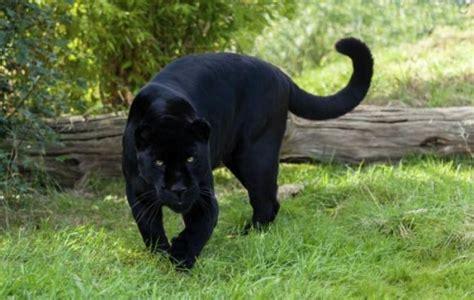 es el melanismo  espectaculares animales negros