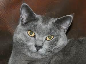 chartreux cat chartreux cat wallpapers pets cat photos