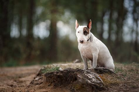 bull terrier breeds dogzonecom