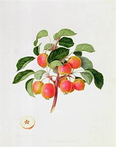The Tartarian Crab Apple Painting by William Hooker