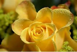Rose   Red Rose  White Rose  Yellow Rose  Blue Rose  Others  Beautiful Pictures Of Yellow Roses