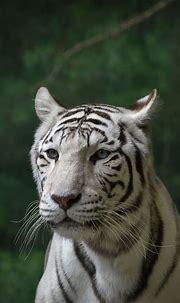 White Bengal tiger portrait BeNGaL TiGeR Tigers Wildlife ...