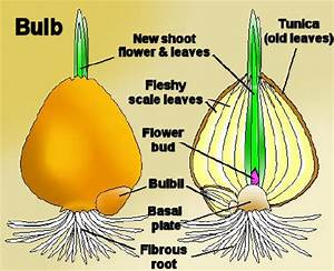 growth - What's the difference between corms, bulbs, and ...
