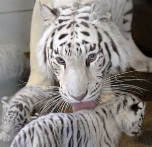 White Tiger Gives Birth