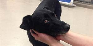 The gallery for --> Black Lab Greyhound Mix