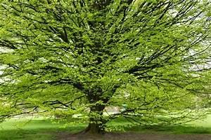 Hainbuche Baum Schneiden : hainbuche ein weit verbreiteter baum in europa ~ Watch28wear.com Haus und Dekorationen