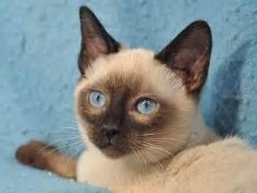 tonkinese cats tonkinese tonkinese cats