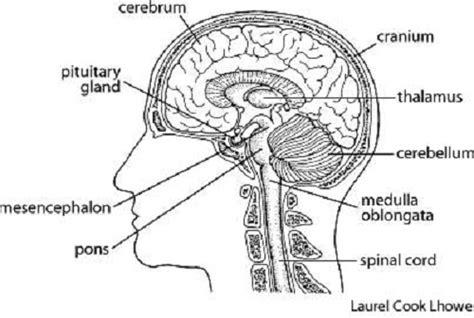 labeled brain black and white brain diagram cliparts co