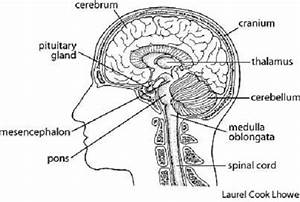 Free Brain Diagram  Download Free Clip Art  Free Clip Art On Clipart Library