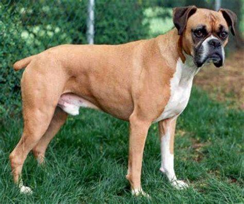 boxer dog photo canine cushings disease illustrated