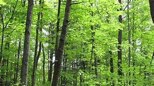 Trees In Forest 001 - Free Stock Footage 1080p Hd