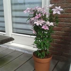 Clematis Pflanzen Kübel : clematis hagley hybrid f r balkon und terrasse online kaufen ~ Orissabook.com Haus und Dekorationen