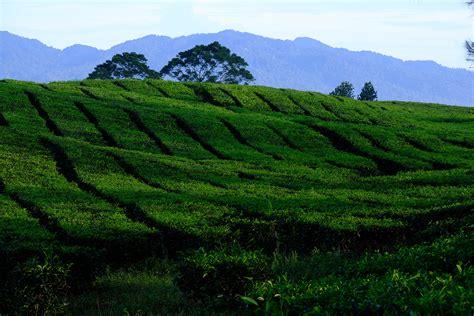 kebun teh sidamanik Seputarkota com Seputar Kota