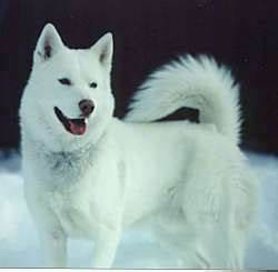 7 Things You Need To Know About The Siberian Husky - Animalso
