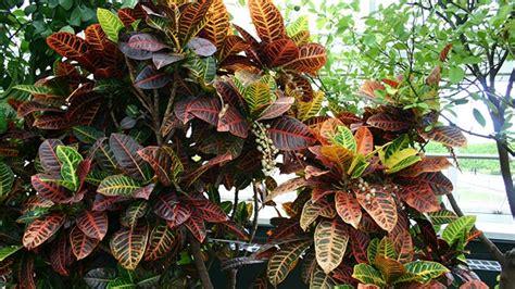 tanaman puring lebih sekadar tanaman hias greenersco