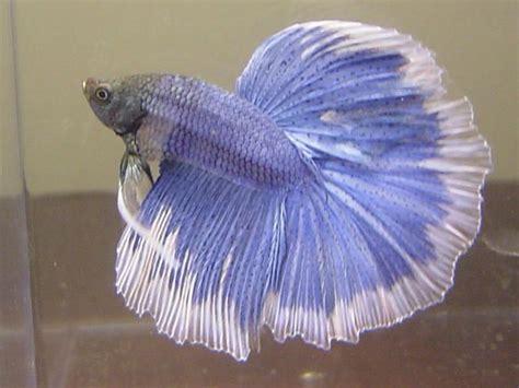 rare betta fish aquarium lore betta siamese fighting