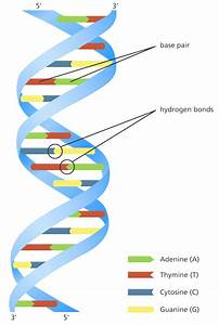 Deoxyribonucleic Acid Or Dna  Structure And Function