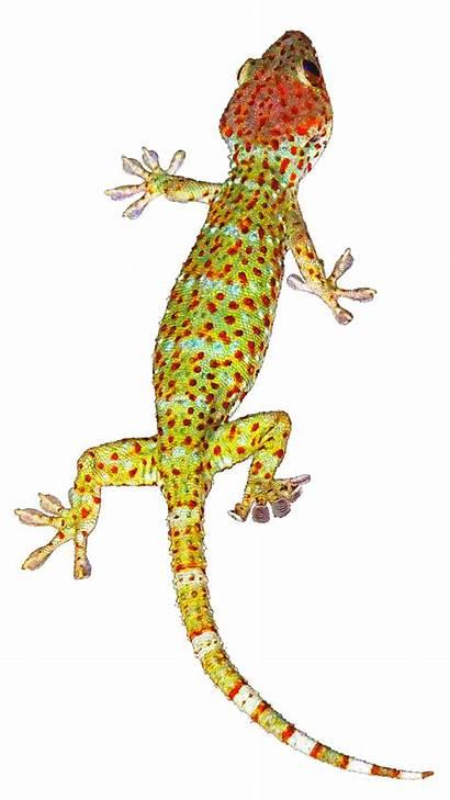 Transparent Geckos Background Adhesion Gecko Science Formulators