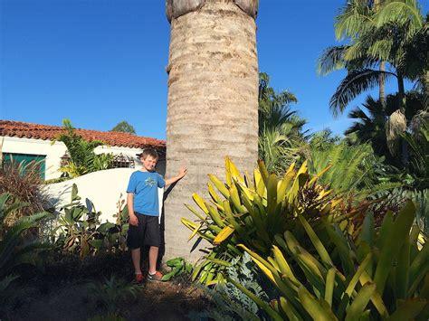 total wine palm gardens transplanting a jubaea chilensis chilean wine palm