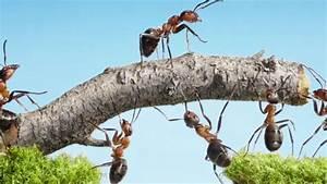 Ameisen Im Garten : ameisen bek mpfen im garten auf dem rasen und im haus garten ratgeber ~ Frokenaadalensverden.com Haus und Dekorationen