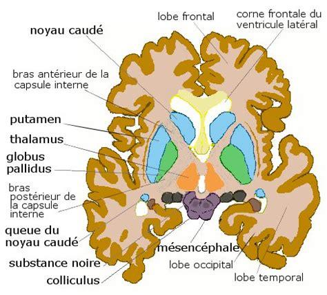 file axial basal ganglia jpg wikimedia commons