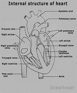 Draw It Neat   How To Draw Human Heart Labeled