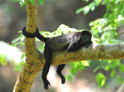 monkeys tails animals monkey tail types tree species rainforest endangered wild different rica costa many serengeti animal national human zoos