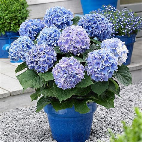 jual bibit tanaman hias bunga blue hydrangea lapak