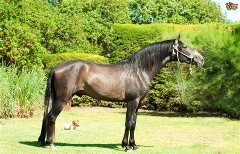 andalusian horse stallion grey pets4homes dressage breed europe pet