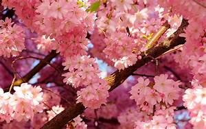 2019 Cherry Blossom Festival