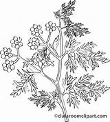Coriander Herb Clipart Pages Colouring Herbs Fragrant Picolour Caraway Clipground sketch template