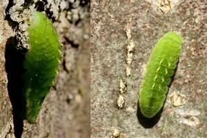 Chenille Verte Fluo : satyrium pruni chenille tatoo verte le monde des insectes ~ Nature-et-papiers.com Idées de Décoration