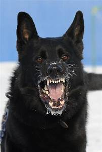 Black German Shepherd - 27 Pictures | Funny Dog | DomPict.com