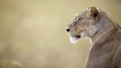 Lion Screensavers Backgrounds Wallpapers Background Animal Desktop