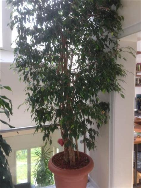 Große Zimmerpflanzen Günstig by Gro 223 E Zimmerpflanzen