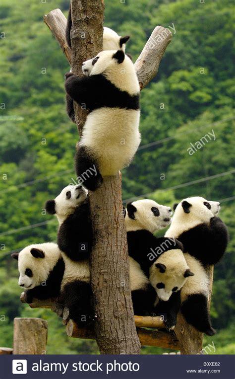 giant panda ailuropoda melanoleuca  young bears climbing  stock photo alamy