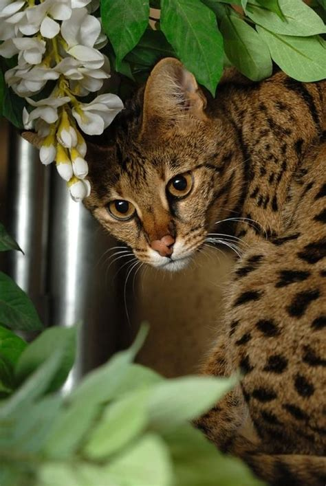 100+ Ideas To Try About Savannah Cat  Cats, Savannah Cats