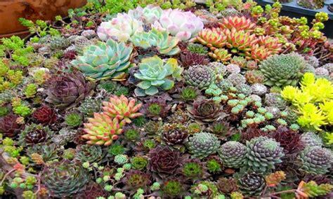 cactus and succulent container gardens succulent garden