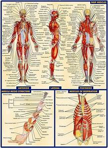 03 Human Anatomy All System Deep Muscles Map 14 U0026quot X19