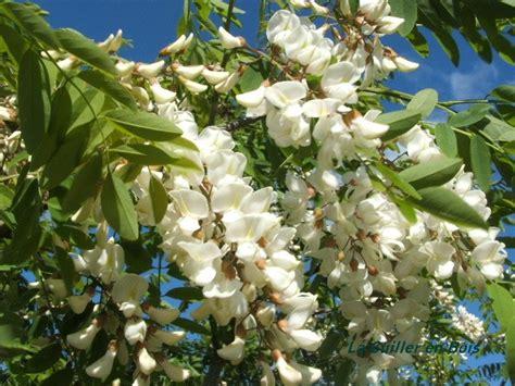 pour faire la cuisine beignets de fleurs d 39 acacia la cuiller en bois